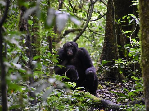 A chimpanzee in the forests of Uganda