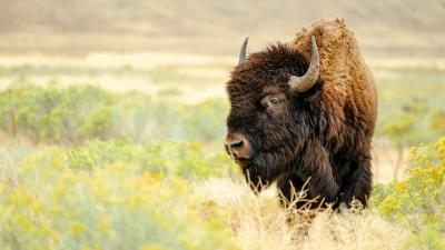 bison | Earthwatch