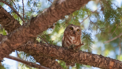 A forest owl perched in a tree.