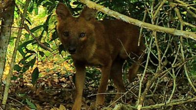 A dhole peaking through the jungle brush