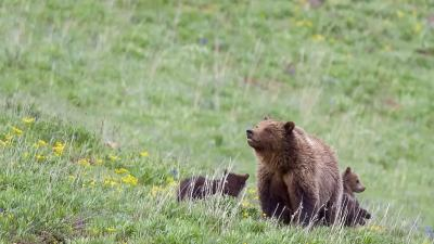 A female grizzly with her two cubs.