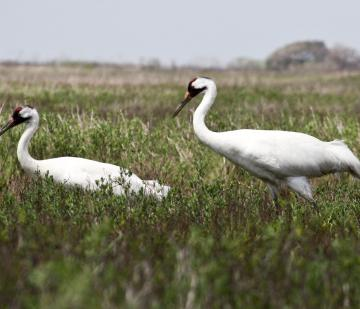 Two whooping cranes in Texas