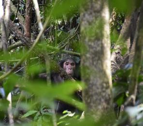 Chimp in Uganda