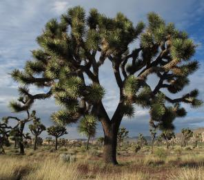 A large Joshua Tree at Joshua Tree National Park