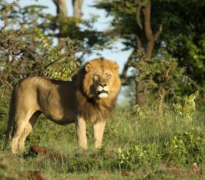 lions and their prey in kenya