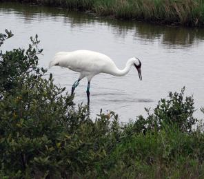 Researchers are working to determine how environmental drivers and human influences are impacting the wintering home of the endangered whooping crane.