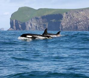 Two killer whales break the surface (C) Icelandic Orca Project
