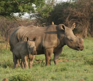 A white rhino female with her calf (C) Lynne MacTavish