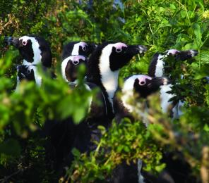 A colony of African penguins (C) Anthony Brown