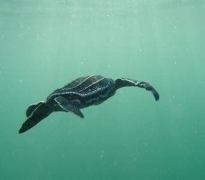 Leatherback sea turtle seen on Earthwatch expedition Costa Rican Sea Turtles.