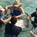 Some of the stingray workup will occur in shallow water, with staff members securely holding the animals in a large net.