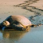 A female sea turtle returns to the ocean after laying her eggs | Earthwatch