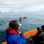 Earthwatch volunteers photograph a pod of killer whales (C) David Gaspard
