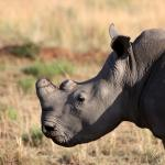 A dehorned white rhino (C) Alex Kallend